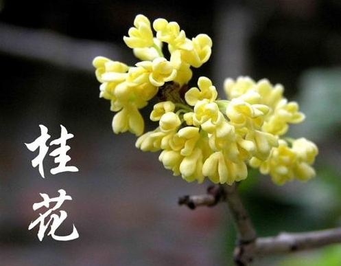中秋为什么要赏桂花,全国各地赏花圣地全攻略
